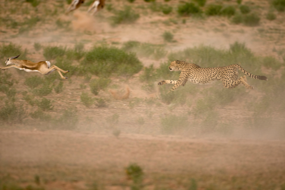 South Africa, Kgalagadi Transfrontier Park, Cheetah (Acinonyx jubatas) stretches airborne while sprinting after fleeing Springbok calf  in dry river bed in Kalahari Desert