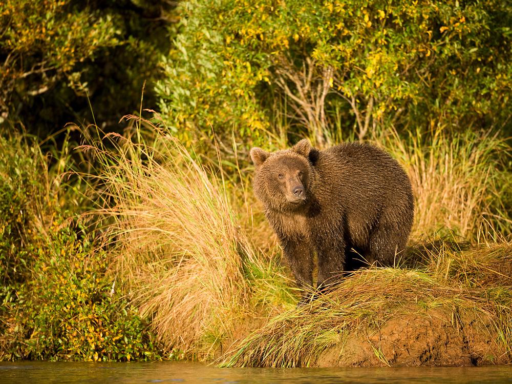 USA, Alaska, Katmai National Park, Kinak Bay, Brown Bear (Ursus arctos) second-year Cub along salmon spawning river on autumn morning