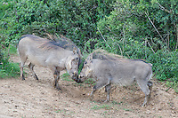 Sparring Warthog, Addo Elephant National Park, Eastern Cape, South Africa