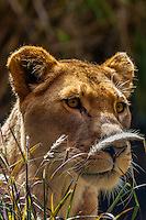 Lioness, Taronga Zoo, Sydney Harbor, Sydney, New South Wales, Australia