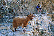 Hora Sfakia, Crete, Greece: A hairy reddish-brown goat on the coastal hikers trail. Domesticated goats have the scientific name Capra aegagrus hircus and were bred from wild goats of southwest Asia and Eastern Europe. As members of the Bovidae family, goats are closely related to sheep, which are also in the goat-antelope subfamily, Caprinae.