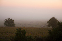 Sheep in a foggy pasture at dawn near Mont St. Michel.