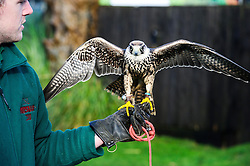 © Licensed to simonjacobs.com. 07/01/2014 Whipsnade, UK.  Lenny the African Lanner Falcon is held by  keeper Guy Simmonds  during the annual stocktake at Whipsnade Zoo.<br /> Home to more than 2,500 animals zookeepers take stock of every invertebrate, bird, fish, mammal, reptile, and amphibian.<br /> The compulsory count is required as part of the zoo's license, the results are logged and the data is shared with zoos around the world to manage international breeding programmes. Photo credit : Simon Jacobs