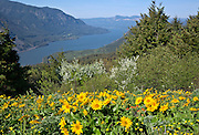 WA13135-00...WASHINGTON - Balsamroot covered hillside on Dog Mountain overlooking the Columbia River Gorge in the Columbia River Gorge National Scenic Area.