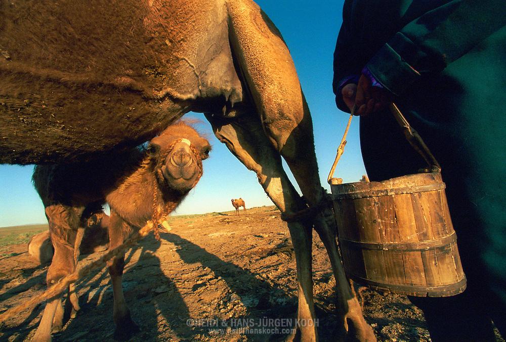 Mongolei, MNG, 2003: Kamel (Camelus bactrianus). Stute nach dem Melken durch Tochter Haschtschuluun genannt Haschaa. Ein Fohlen schaut unter dem Bauch der Mutter hervor. Fohlen müssen beim Melken immer in der Nähe sein, ansonsten gibt die Stute keine Milch, Süd-Gobi. | Mongolia, MNG, 2003: Camel, Camelus bactrianus, mare right after milking by daughter Haschtschuluun, named Haschaa, foal looking under the belly of its mother, foals always have to be there if people want to milk a mare or the mare wouldn't allow to milk, South Gobi. |