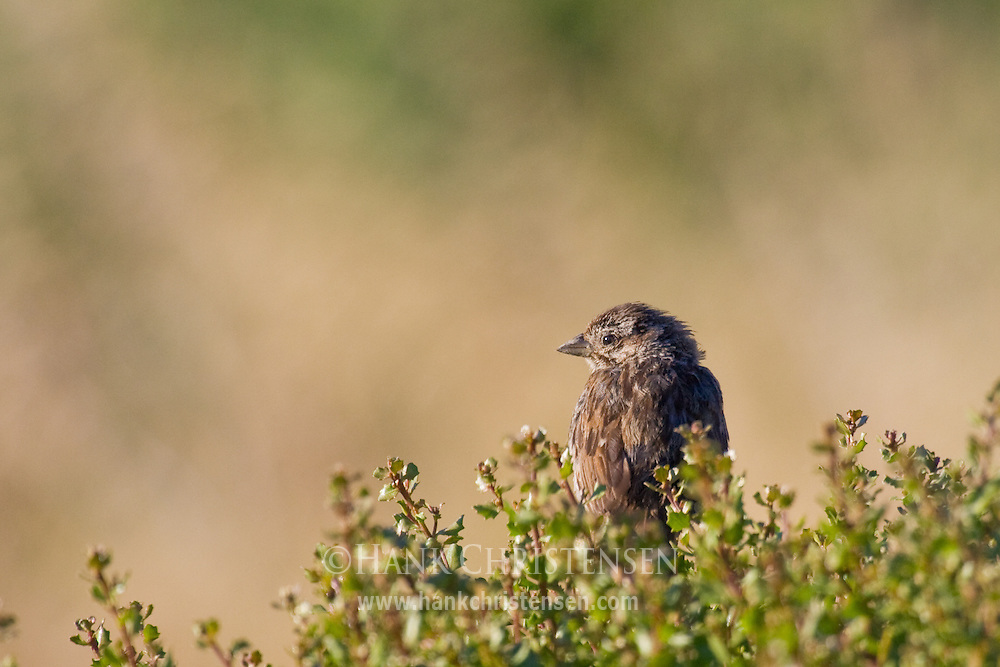 Song Sparrow perched on bushes in late afternoon sun