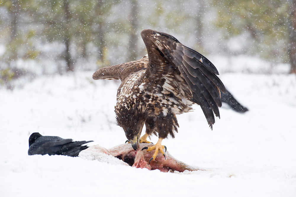 Immature sea eagle  standing over a carcass, Estonia