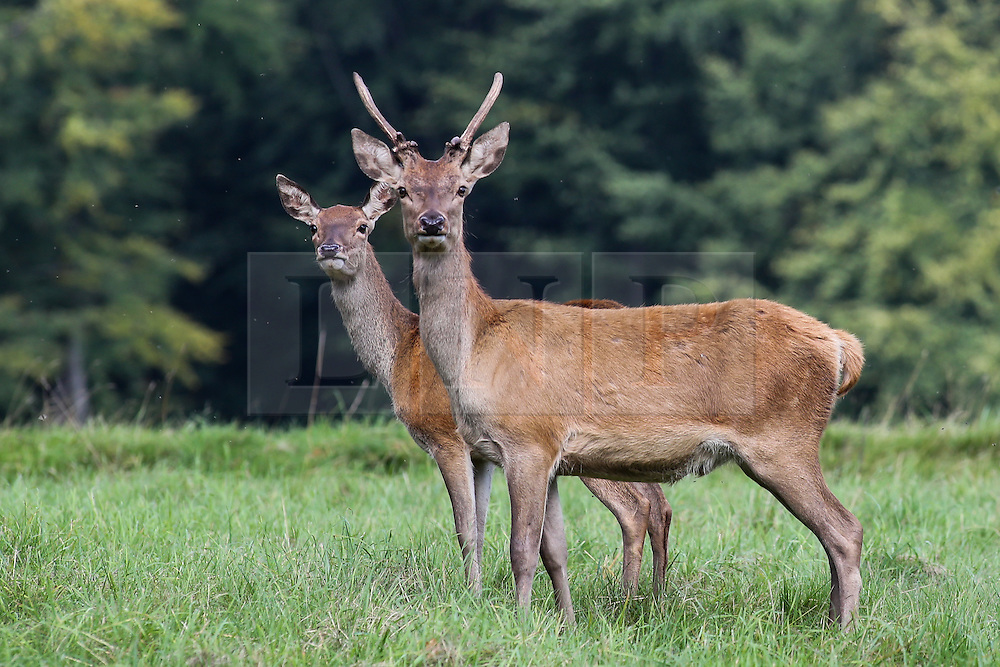 © Licensed to London News Pictures. 12/09/2016. Ripon, UK. © Licensed to London News Pictures.  Red deer graze early in the morning of a hot autumn day at Studley Royal deer park at Fountains Abbey near Ripon in North Yorkshire. Photo credit : Ian Hinchliffe/LNP