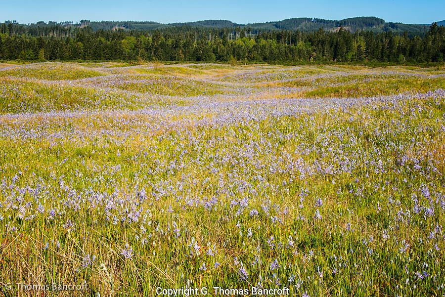 The undulating landscape is a result of the glacial outflow forming the mounds.  The rocky soil drains well making idea grassland habitat.  The carpet of cama lilies was spectacular and stretched across the prairie.