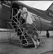 31/07/56<br /> 07/31/56<br /> 31 July 1956<br /> <br /> Large (11.5 stone) St. Bernard Dog Leaving Dublin on Aer Lingus Plane. Owner, Mrs Slazenger