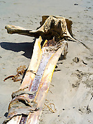 The decaying skull of a (likely) Antartic minke whale (Balaenoptera bonaerensis) found on the beach at Mason Bay, Stewart Island (Rakiura), New Zealand.