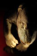 Fetus from an American black bear also called Baribal, Ursus americanus, about 19 cm long gestation period is 60-70 days, preparation from the year 1936, age of the fetus is the moment of birth, because it is an act stillbirth, Gestation ca . 60-70 days, Natural History Museum Basel, Switzerland..Foetus von einem Amerikanischen Schwarzbaeren auch Baribal genannt, Ursus americanus, ca. 19 cm lang, Tragzeit ca. 60-70 Tage, Praeparat stammt aus dem Jahr 1936, Alter des Foetus ist der Geburtsmoment, da es sich um eine Totgeburt handelte, Tragzeit ca. 60-70 Tage, Naturhistorisches Museum Basel, Schweiz