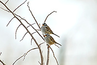 A pair of White Crowned Sparrow adults sits on a branch on a cold January morning.