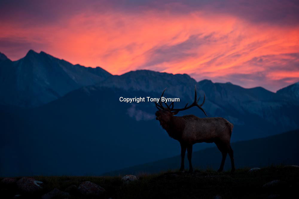 huge trophy bull elk bugles from ridge steam puffing from mouth dramatic sky rocky mountains