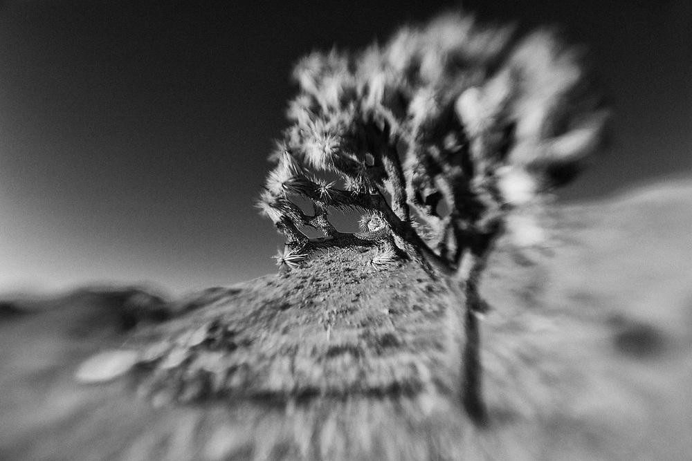 Joshua Tree - Lensbaby - Infrared Black & White