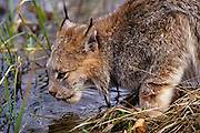 A lynx (Felis lynx) drinks from a stream. Montana.