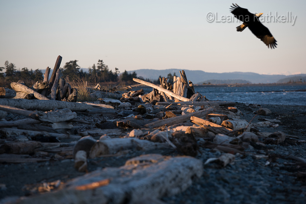 Island View Beach, near Victoria, BC on Vancouver Island, is a restful place to walk along the beach wild with driftwood, eagles and sea life.