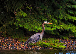 A Heron on wet rocks near the water with a vibrant green pine tree backdrop