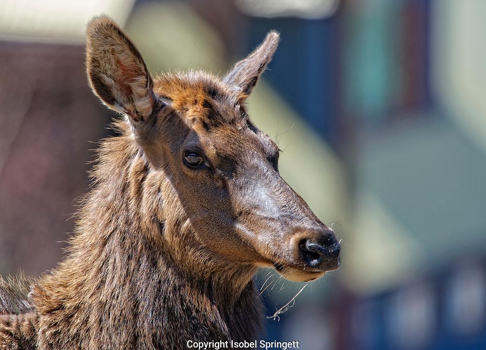 Elk. Wapiti. Cervus elaphus, Courtenay, British Columbia, canada,