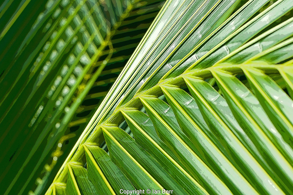 detail shot of a coconut palm frond