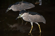Black-crowned Night Heron (Nycticorax nycticorax)<br /> Zoo<br /> Georgetown<br /> GUYANA<br /> South America