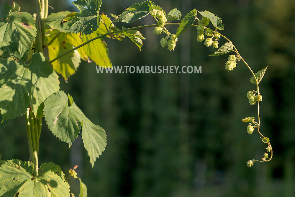 Westtown, New York - Hops grow on vines at Westtown Brew Works on July 21, 2016.