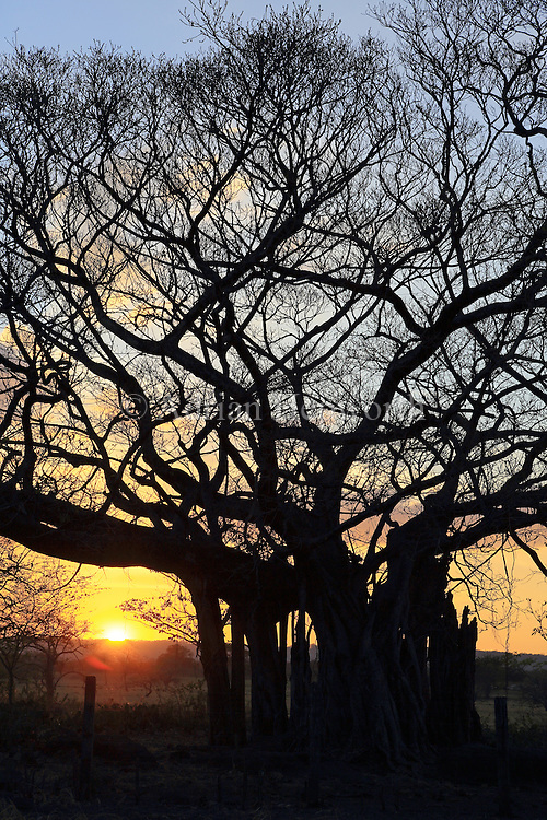 Fig tree at sunset. Guanacaste, Costa Rica.