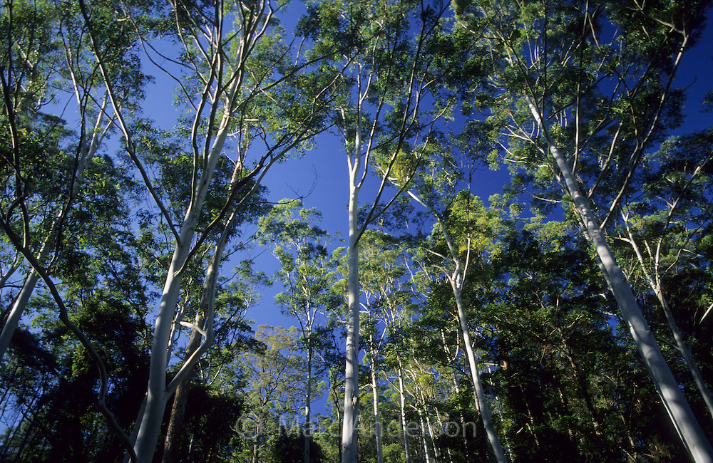 A forest of tall Eucalyptus trees in northern NSW, Australia.
