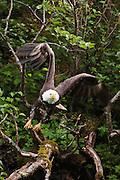 USA, Katmai National Park (AK).Bald eagle (Haliaeetus leucocephalus) taking flight