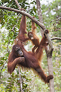 Bornean Orangutan <br /> Pongo pygmaeus<br /> Mother and 1.5 year old baby<br /> Tanjung Puting National Park, Indonesia
