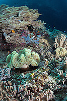 A Crocodile Flathead camouflages perfectly amongst soft corals, awaiting unsuspecting prey<br /> <br /> Shot in Indonesia