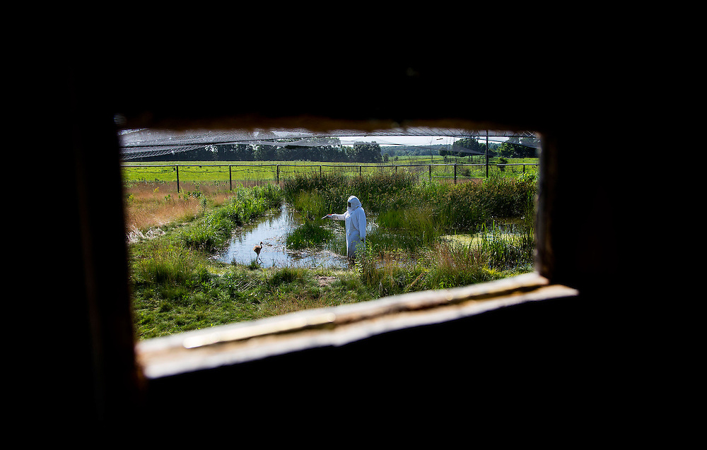 Looking out from a blind window as an endangered Whooping Crane chick takes a marsh walk with a costumed aviculturist learning to forge for food.