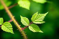 Leaves of a raspberry bush.