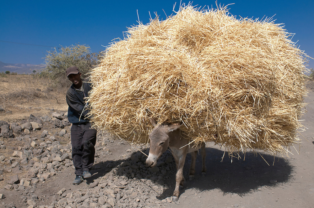 Full loaded donkey in the savanah,Ethiopia,Africa