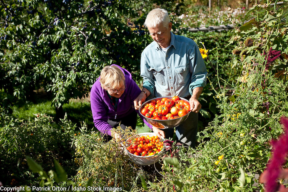 Retired couple harvest tomatoes from organic garden in the forest of north idaho near Sandpoint, Id.