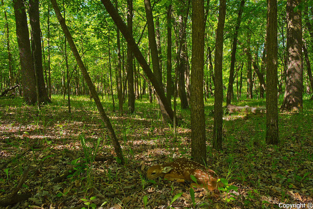 Whitetail deer fawn lying on forest floor<br />