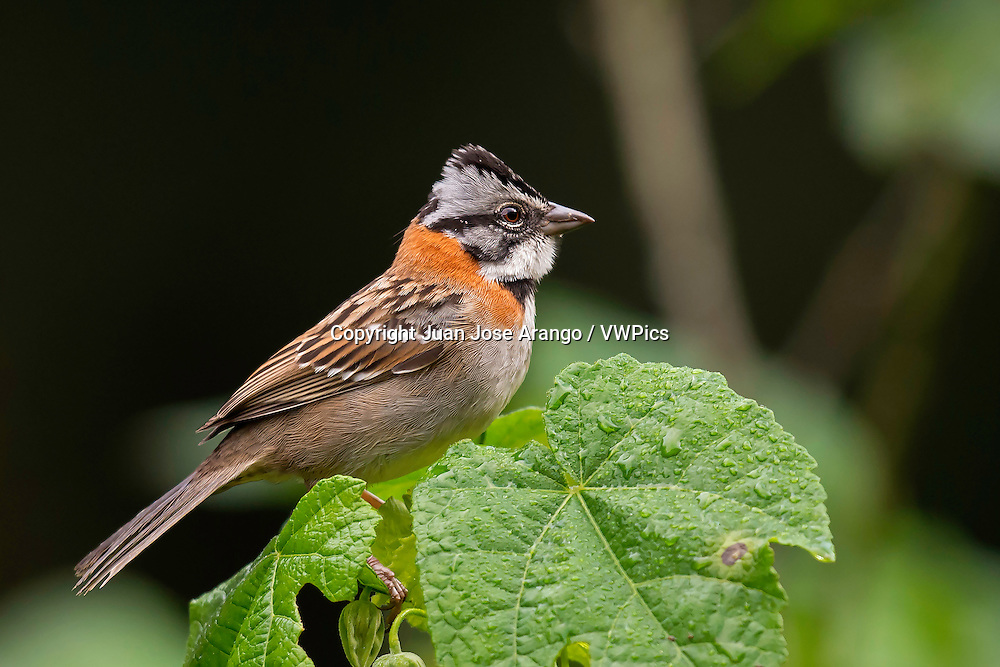 Rufous-collared Sparrow (Zonotrichia capensis), km 18, Cali, Valle del Cauca