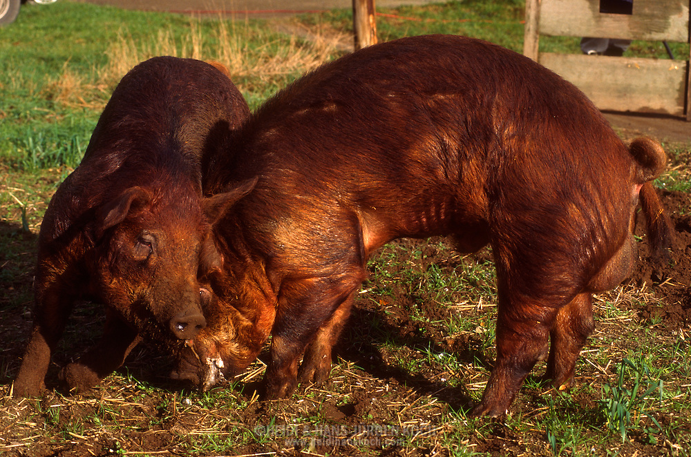 DEU, Deutschland: Hausschwein (Sus Scrofa f. domestica), zwei Duroc Eber demonstrieren ihre Kraft, Elemente von Kampfverhalten, Drängen und Stoßen mit Kopf und Schulter, Seedorf, Schleswig-Holstein | DEU, Germany: Domestic pig (Sus scrofa f. domestica), two boars from the Duroc breed, exercising their power, elements of fighting behaviour, pushing and shoving on head and shoulders, Seedorf, Schleswig-Holstein |