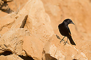 Israel, Dead Sea, Male Tristram's Starling or Tristram's Grackle (Onychognathus tristramii)