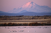 Tundra swans (Cygnus columbianus)and ducks in Tule Lake and Mt. Shasta at sunrise.