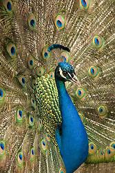 United States, Washington, Seattle, Woodland Park Zoo, Peacock (Pavo cristatus)