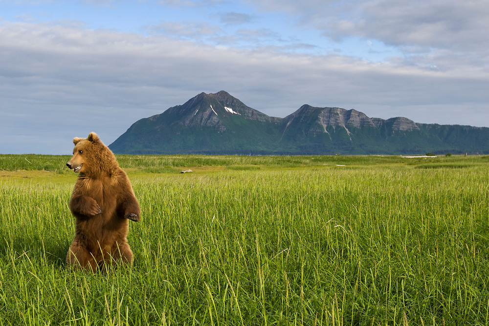 USA, Alaska, Katmai National Park, Brown Bear (Ursus arctos) standing in tall grass in meadow along Hallo Bay