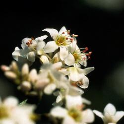 Polygonaceae, Duizendknoopfamilie