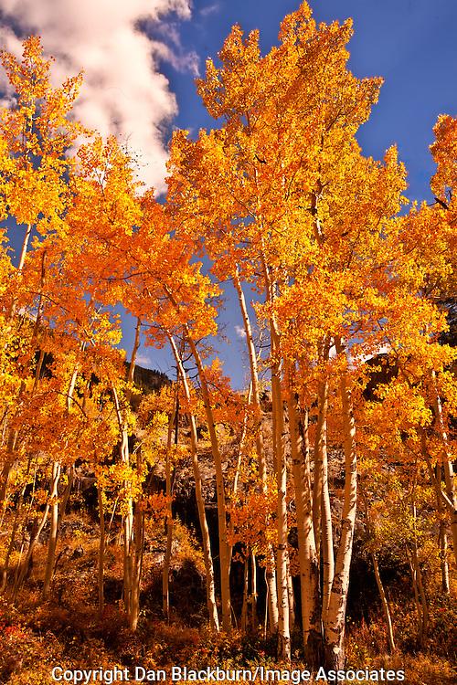 Golden Aspens White River National Forest Colorado