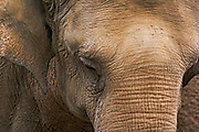 close up of an African elephant Loxodonta africana