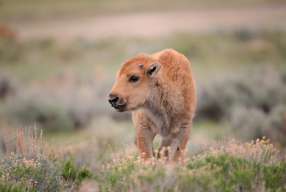 Bison Calf (Bos bison) in sage, Yellowstone National Park, Wyoming