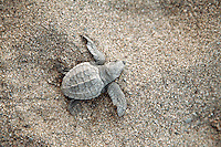 Just hatched baby Olive Ridley (Golfina) turtles in Michoacan, Mexico.