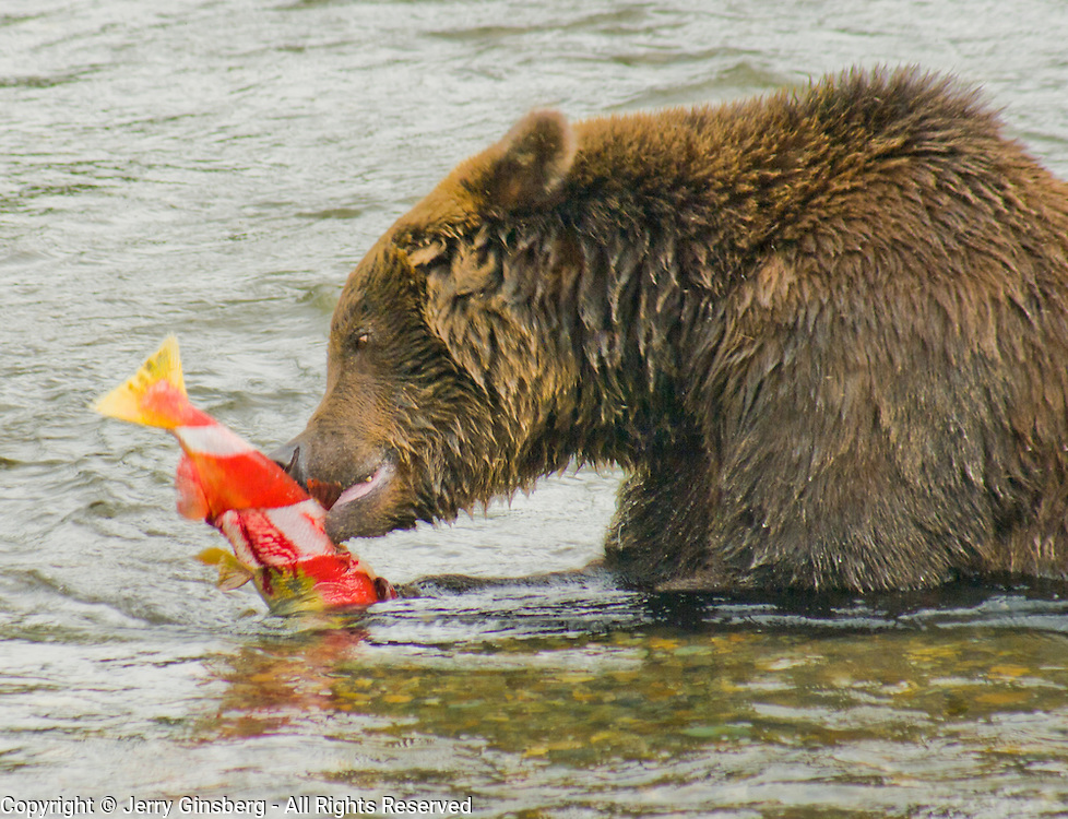 North America, United States, West, Northwest, Pacific Northwest, Alaska, Katmai, Katmai National Park, Katmai NP, Brooks, river, Brooks Riber. Grizzly bear, brown bear enjoying a salmon in the Brooks River, Katmai National Park, Alaska.