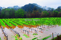 Sonoma Valley vineyard from California flooded out during the rainy season.<br /> <br /> <br /> <br /> <br /> <br /> <br /> <br /> <br /> ©2019 All artwork is the property of STAR NIGRO.  Reproduction is strictly prohibited.