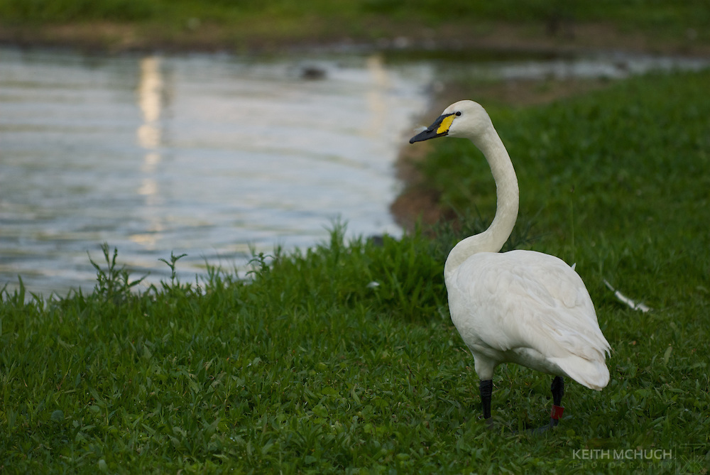 Colorado strain Trumpeter Swan standing guard